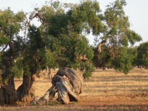 albero ulivo Vento Refolo Progetti Didattici