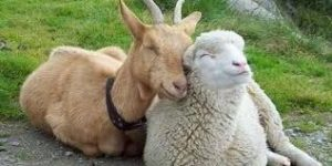 pecora e capra